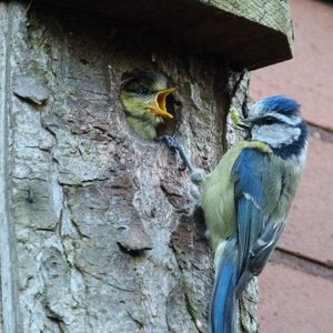 bluetit feeding.jpg